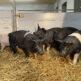Ab sofort, Fleischverkauf von Schwäbisch-Hällischen Schweinen